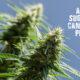 Sugars To Cannabis Plants Guide