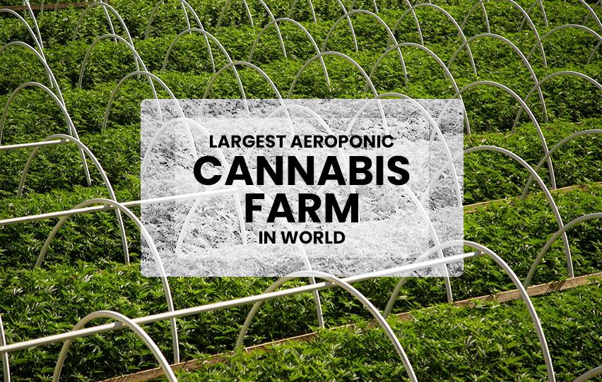 Aeroponic Cannabis Farm in World